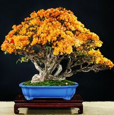 Bougainvillea bonsai note how yellow flowers really stand out w/ blue of pot. Pick a pot to compliment the leaves (reg or fall colors) bark &/or fruit/ flowers of your tree