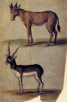 Ulisse Aldrovandi 1599