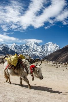 Everest Base Camp Trek Himalayan yak carrying a loads along the Everest Base Camp route with dramatic Everest Himalaya. Backpacking India, Backpacking South America, The Places Youll Go, Places To Visit, Nepal Culture, Adventure Treks, Everest Base Camp Trek, India Travel, Tibet