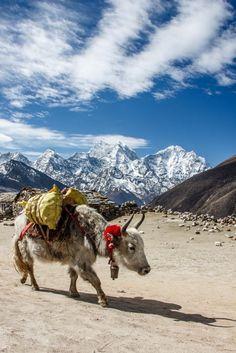 Nepal, Yaks, Mount Everest