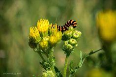 Rups van de sint-jacobsvlinder, Broekpolder by Jacintha