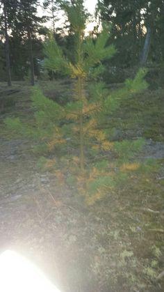 Kuusi (Picea abies)20.9 Sekametsä