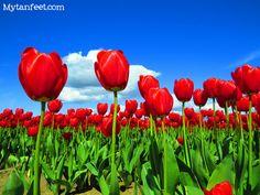 Skagit Valley Tulip Festival in #Washington #Pacificnorthwest