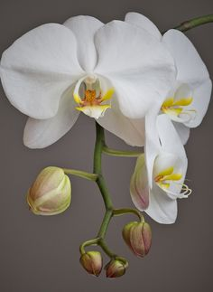 Excellent Screen Orchids photography Thoughts Should you be new to the world of orchids , you shouldn't be terrified of them. Many orchids may b Tropical Flowers, Flowers Nature, Exotic Flowers, Amazing Flowers, White Orchids, White Flowers, Orchid Flowers, Purple Roses, Baby Orchid