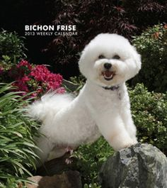 Bichon Frise - 2013 Hardcover Weekly Engagement Calendar Calendars - AllPosters.ca