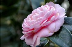 Camellia flower #flower #photography #pink