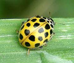 Αποτέλεσμα εικόνας για yellow and black ladybird