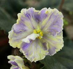 African Violet  | eBay  Tea's Blueberry Butterfly (S. Gallela) Semidouble-double blue/yellow eye and streaks, pale yellow to white wavy edge. Dark green, quilted. Standard (User Database)