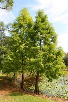 Pond Cypress - Taxodium ascendens