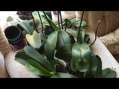 Orkidesi olan herkesin izlemesi gerek! Orkide bakımında dikkat edilmesi gereken noktalar. - YouTube
