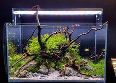 Betta Aquarium, Nano Aquarium, Nature Aquarium, Aquarium Ideas, Planted Aquarium, Takashi Amano, Nano Cube, Aquarium Driftwood, Nano Tank