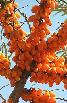 Sea buckthorn. The bright orange berries ripen in early winter and are best collected when frozen, as they squash easily.