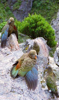 Kea (Nestor notabilis), Arthur's Pass, South Island, New Zealand All Birds, Birds Of Prey, Love Birds, Exotic Birds, Colorful Birds, Pretty Birds, Beautiful Birds, Tier Fotos, Bird Watching