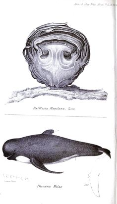 Vintage Whale Illustrations | Annals and magazine of natural history : including zoology, botany and ...