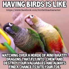 Great Photo parrot cotorro Suggestions Keeping your own feathered friend wholesome suggests frequently managing their health. While furry friend bird managers Funny Birds, Cute Birds, Pretty Birds, Birds 2, Parrot Toys, Parrot Bird, Parrot Pet, Parrot Quotes, Conure Bird