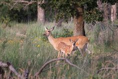 Doe and Fawn 7-12-14 / July