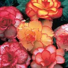 wonderful begonias that partner well with the golden trumpet vine.