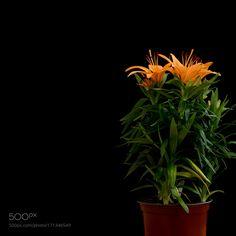 Orange lily plant with black background by maxrastello. @go4fotos