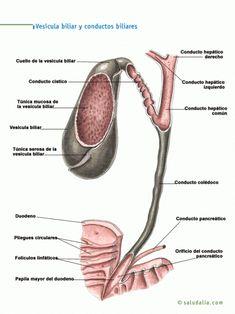 Vesícula biliar y conducto biliares