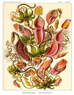 Ernst Haeckel Botanical Print  Poster  Wall door AdamsAleArtPrints