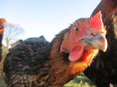 Nomes de galinhas - ideias originais e engraçadas