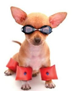 Swimming!! - Tap the pin for the most adorable pawtastic fur baby apparel! You'll love the dog clothes and cat clothes! <3 #chihuahua