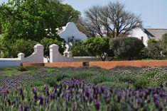 Lavender fields Lavender Fields, South Africa