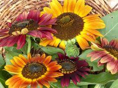 Evening Sun Sunflower, 2 g