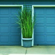 Tall grass in a planter in front of the garage.