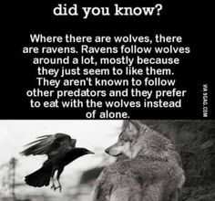 Write a story of a wolf that can speak Raven. No other wolf can speak Raven, and no other raven can speak Wolf. Animals And Pets, Funny Animals, Cute Animals, Smart Animals, Kids Animals, Beautiful Creatures, Animals Beautiful, Tierischer Humor, Wolf Quotes