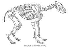 Google Afbeeldingen resultaat voor http://www.hyaenidae.org/uploads/images/skeleton_spottedhyena.png