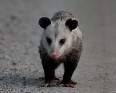 •Playing Possum or Thanatosis, is an involuntary physiological response (like sneezing), rather than a conscious act (like blowing the nose).But the animal has to be really stressed in order for Thanosis to occur. Normally they will hiss first or try to escape. •Opossums are the only marsupial native to North America •They lived 70 million years ago during the Mesozoic Era in the late Cretaceous period  •   More than you wanted to know, right?