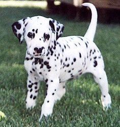 Best Dalmation Chubby Adorable Dog - 6626cd99191b999104efffcaf7d40e00---dalmatians-dalmatian-dogs  Perfect Image Reference_22294  .jpg
