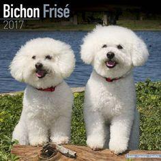 Avonside Hunde-Kalender 2017Avonside Hunde Wandkalender 2017: Bichon Frise