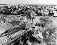 A camel stands in the midst of wrecked vehicles from the Battle of El Alamein