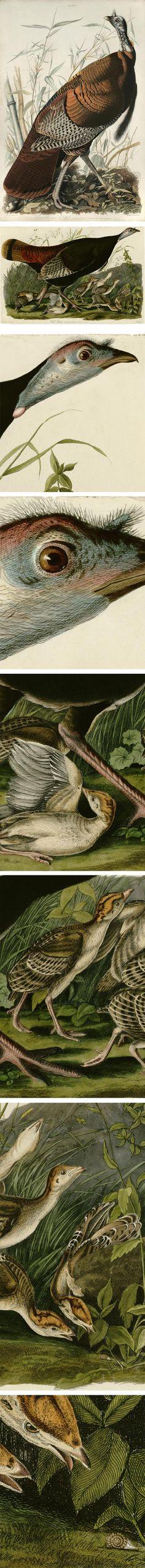 Meleagris gallapavo, John James Audubon, from Birds of America Audubon Prints, Audubon Birds, Kids Art Class, Birds Of America, Nature Artists, Wild Turkey, John James Audubon, Vintage Drawing, Bird Illustration