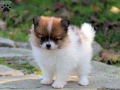 Bella, Pomeranian puppy for sale in Gap, Pa
