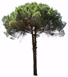 3588 x 4014 pixels, PNG with transparent backgroung.  Pinus pinea  It: Pino domestico, Pino manso; Pt.: Pinheiro manso; En.: Stone pine, also known as the Italian stone pine, umbrella pine tree and parasol pine tree.  Native to the Mediterranean region.