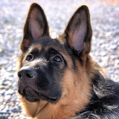 When God imagined beauty he thought GSD Featured account @jude_the_german_shepherd  #gsdsofigworld #gsd #germanshepherds #beauty #love #germanshepherdofinstagram #dog #dogsofinstagram by gsdsofigworld