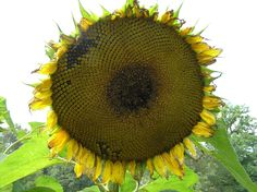 ZONNEBLOEMPITTEN voor de vogels. Zonnebloemen bloeien soms wel van juli tot oktober. Als de enorme bloem echt begint te hangen snijd je 'm af. Laat de kop daarna drogen om de zaadjes eruit te kunnen halen. Dat zaad kun je volgend jaar weer planten, en je kunt het eten. Maar het leukste is wel om de zaden te bewaren voor vogels, die kunnen ze als voer in de winter erg goed gebruiken. Zo heb je ook in de winter plezier van jouw zonnebloem.