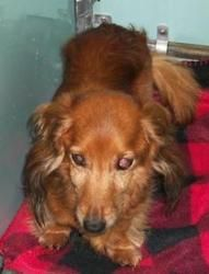 1969 is an adoptable Dachshund Dog in Fredericksburg, VA. I am available for adoption on 12/23/12. Space is limited. Come in to meet me, or call to get more information at (540) 507-7459. Please spay ...