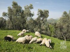 Sheep in Olive Grove, Patsos, Rethimnon (Rethymno) Region, Crete, Greek Islands, Greece, Europe Photographic Print by Stuart Black at Art.com