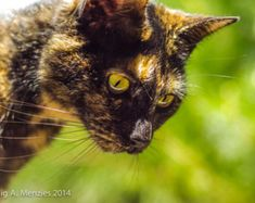 Black Tortoiseshell Cat - Curiosity