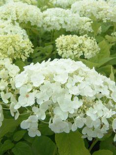 hydrangea 'Annabelle' mijn favoriet