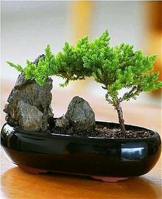 BONSAI TREES / BONSAI STYLES :  More At FOSTERGINGER @ Pinterest
