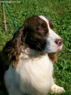 English Springer Spaniel, 2 years, liver & white, Winterwood Encore of ...