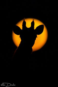Nice photo of a giraffe and a super moon, by Mike Dexter