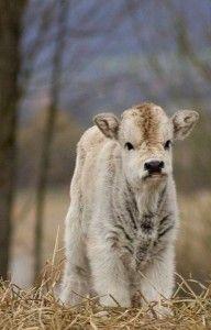Fluffy calf