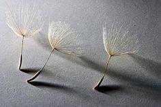 valscrapbook:  mizisham:Salsify seeds by ErgoGuy on Flickr.