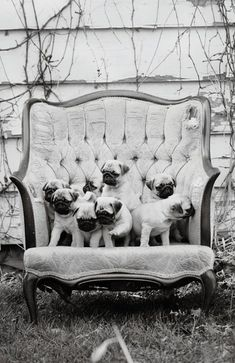 little pugs in a chair ♥ Clean pug! Pug Love dog doggie puppy boy girl black fawn funny fat outfit costume